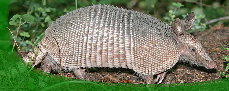 Armadillo Control and Armadillo Removal - Jacksonville, & North Florida