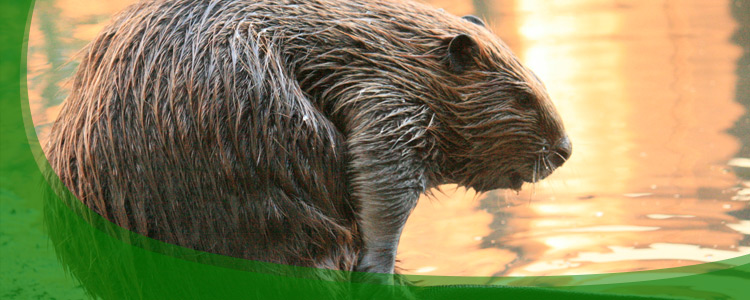 Beaver Control and Beaver Removal - Jacksonville, & North Florida