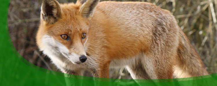 Fox Control and Fox Removal - Jacksonville, & North Florida