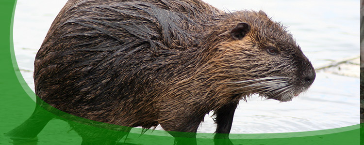 Nutria Control and Nutria Removal - Jacksonville, & North Florida
