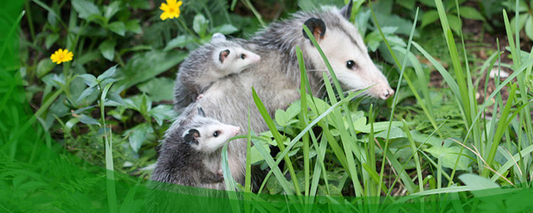 Opossum Control and Opossum Removal - Jacksonville, & North Florida