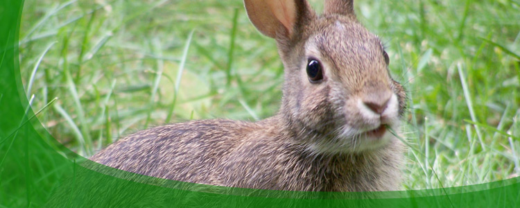 Rabbit Control and Rabbit Removal - Jacksonville, & North Florida