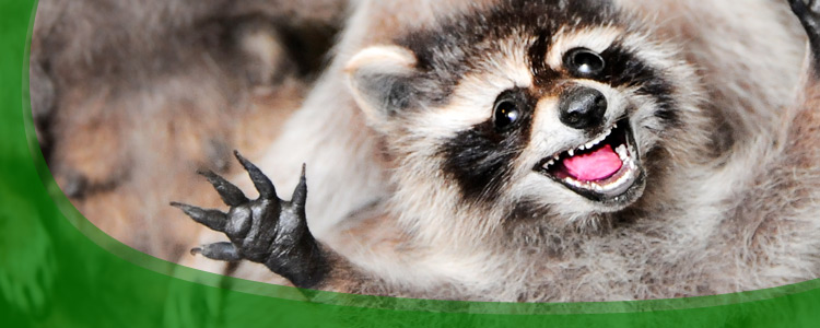 Raccoon Control and Raccoon Removal - Jacksonville, & North Florida