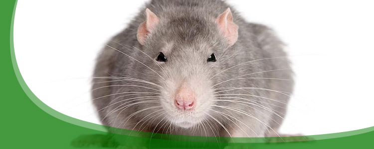 Rat Control and Rodent Removal - Jacksonville, & North Florida