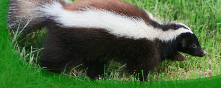 Skunk Control and Skunk Removal - Jacksonville, & North Florida