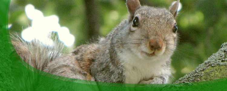 Squirrel Control and Squirrel Removal - Jacksonville, & North Florida