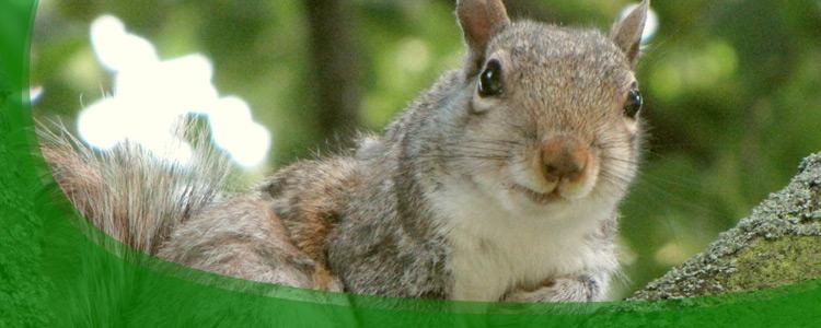 Squirrel Control and Squirrel Removal - Jacksonville, & North Florida