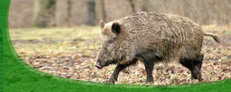 Wildhog Control and Wildboar Removal - Jacksonville, & North Florida